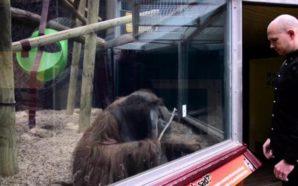 Orangután ve truco e intenta imitarlo