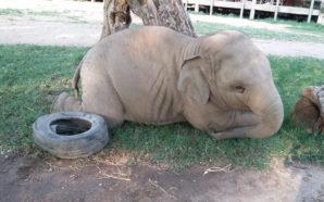 Un elefante bebé juega durante horas con una llanta