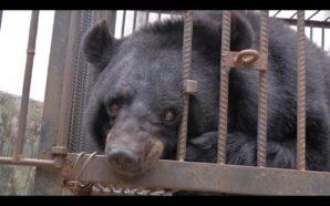 Familia cría a un oso en peligro de extinción creyéndolo…